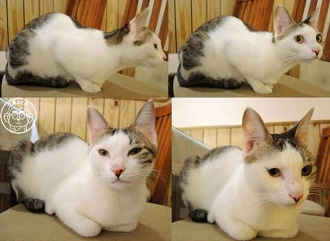 猫翻白眼表情gif分享展示